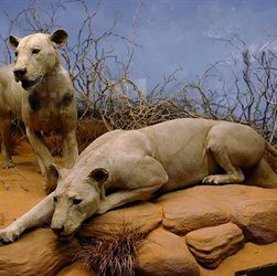 First Man-Eating Lion of Tsavo Killed