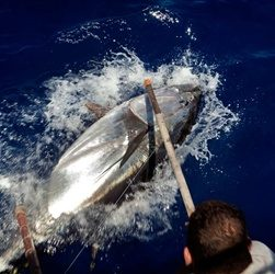 Record Bluefin Tuna Caught
