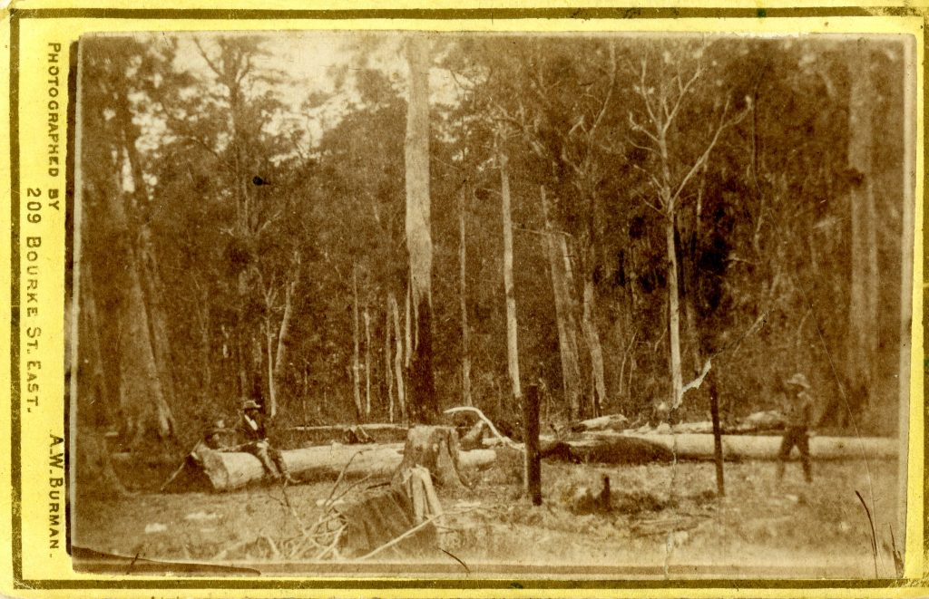 Stringybark_Burman