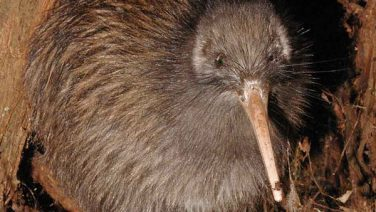 The Kiwi – Symbol of a Nation