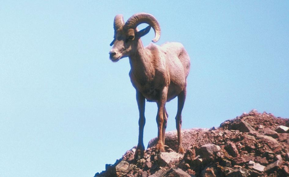 Lost your Goat in Asquith