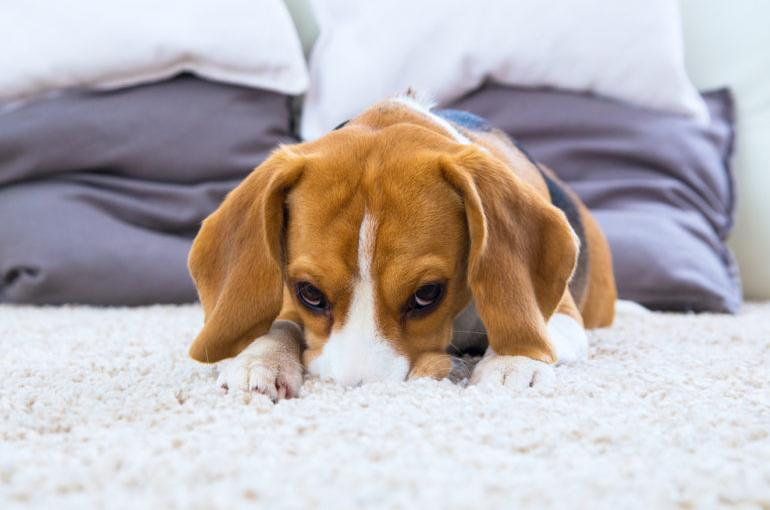 Removing pet stain from carpet