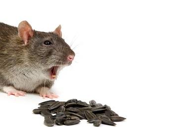 Rat Pest Control Melbourne - Enviro Safe Pest Control