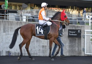 Picture of race horse: Obvious Step