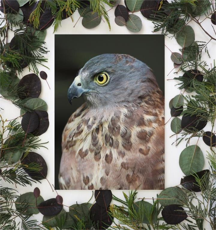 Chocolate Speckled Hawk | Unframed A3 Print