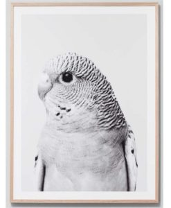 Budgie Grey | Framed Print