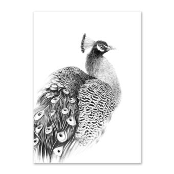 Peacock Grace | Limited Edition Print