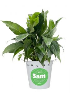 Sam the Peace Lily