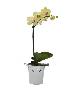 Pick of the Day Single Spike Orchid