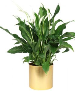 The Golden Peace Lily Gift
