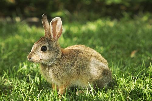 """""""Young Mountain Cottontail rabbit Sylvilagus nuttallii resting in grass. Boulder, Colorado, 2009."""""""