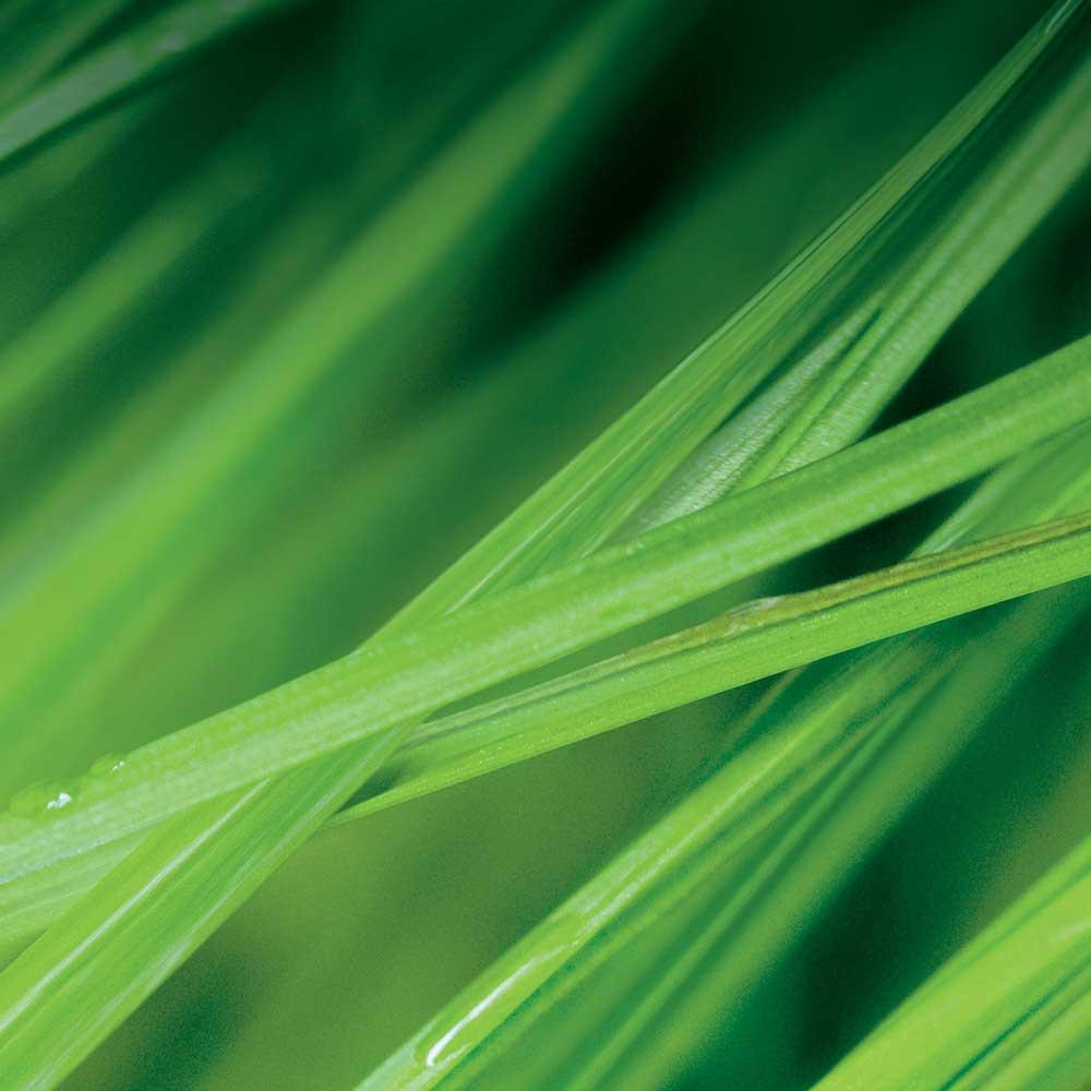 Wheat Grass Splashback