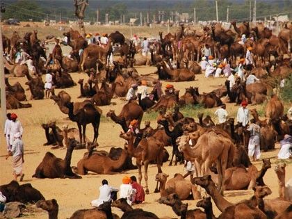 illustration of Pushkar Camel Fair #4