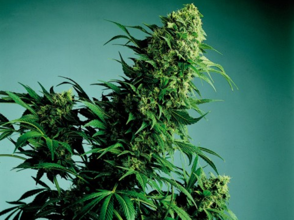 illustration of Hash Marihuana & Hemp Museum #1
