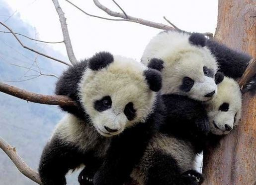logo of Giant Panda Breeding Research Base