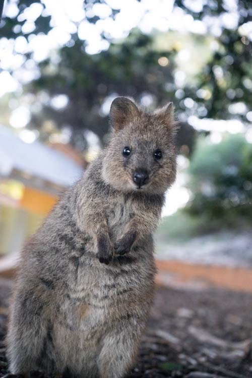 A confused looking quokka