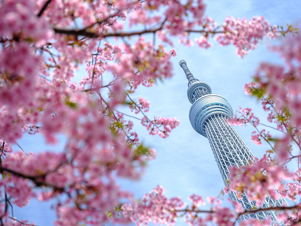 Tokyo's Skytree Tower framed by spring blossom (by Dan Avila)
