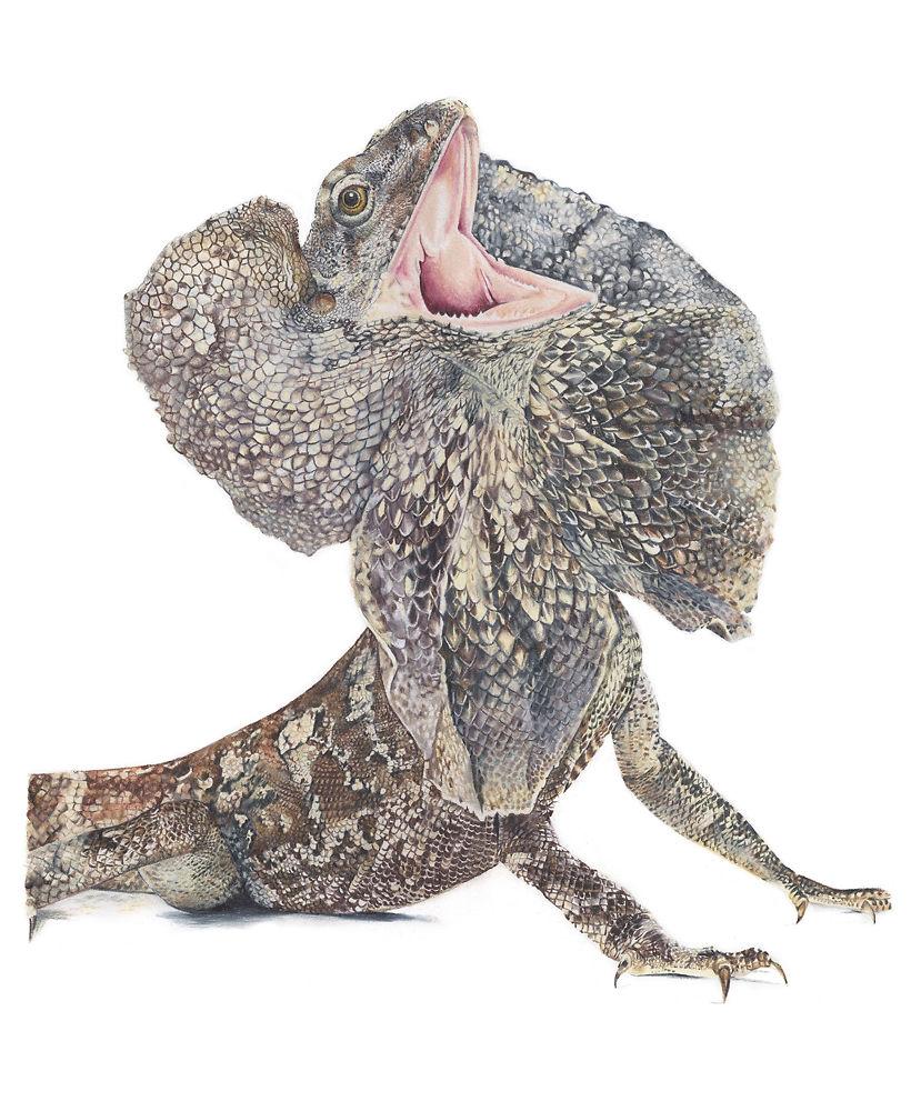 Frilled Neck Lizard - Helen Grey