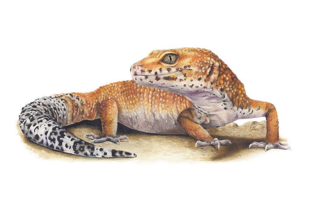 Hobbes the Leopard Gecko - Helen Grey