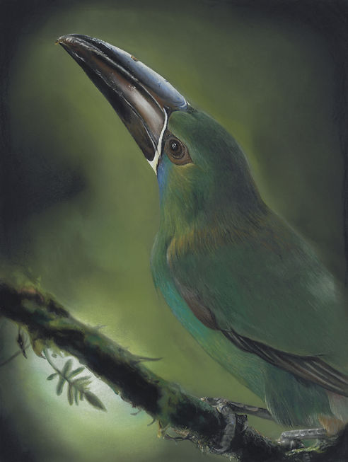 Toucanet - Helen Grey