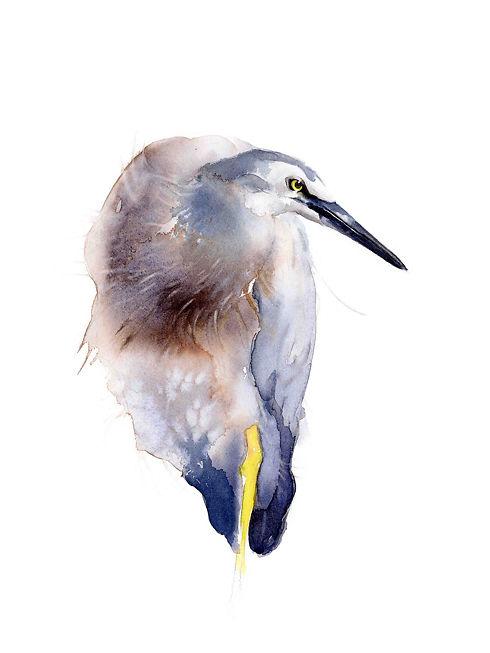 White Faced Heron - Qing Zhang