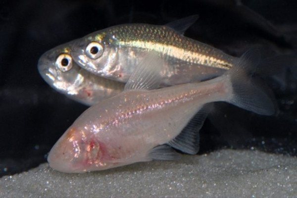 Scientists are studying a sleepless fish that might help humans stay up all night