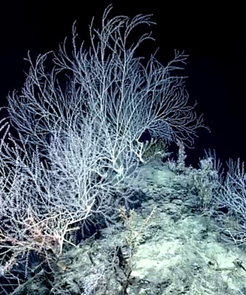 the gulf's secret garden of coral reveals surprises 1,000 years later