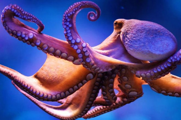 Scientists are giving octopuses MDMA to reveal the origins of social behavior