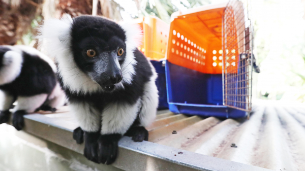 Perth Zoo Main Lake refurbishment set to bring new home to lemurs, gibbons and pelicans