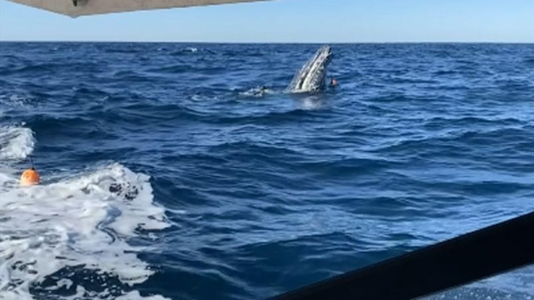Fishermen rescue humpback whale off coast of Ocean Reef as shark circles nearby