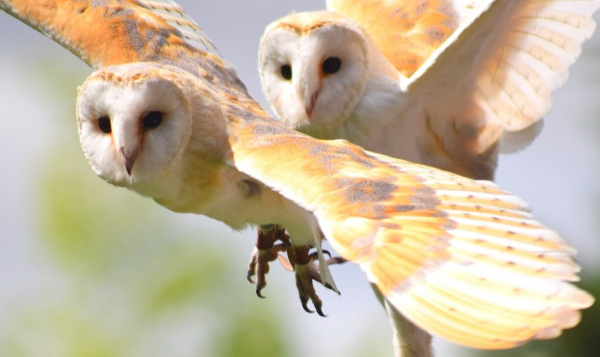10 Reasons Not to Torture or Kill Barn Owls (Looking at You, Johns Hopkins)