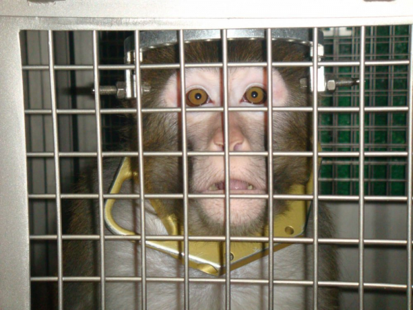 Mutilated Monkeys Forced to Weightlift After Horrific Brain Surgery