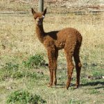 cria at foot