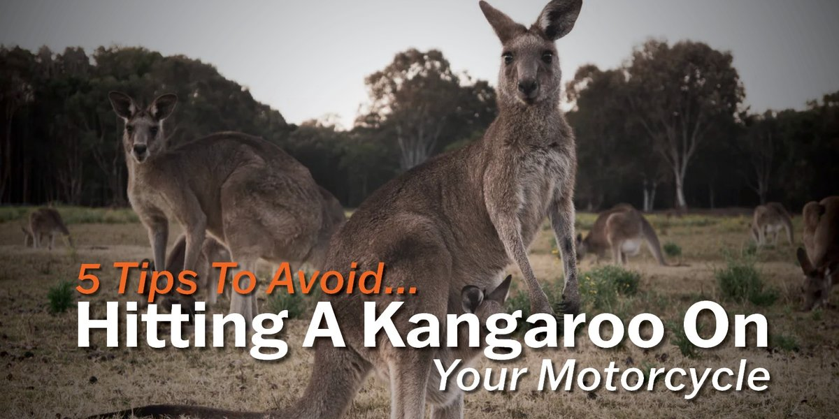 blog large image - 5 Tips To Avoid Hitting A Kangaroo On Your Motorcycle