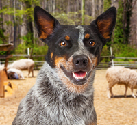 Introductory Stock Handling and Working Dog Course