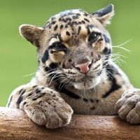 Spotted Clouded Leopards - All Ages