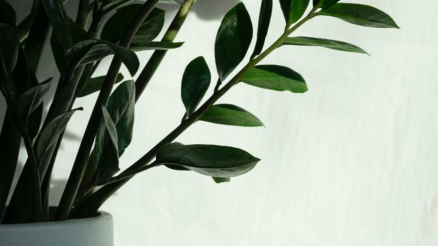 Green ZZ plant in a white ceramic pot