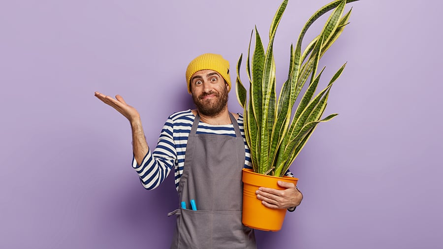 Doubtful flower grower holds potted green succulent snake plant
