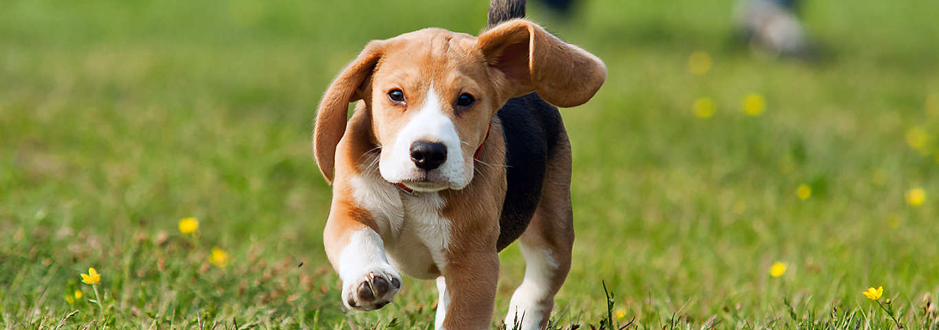 Beagle Running Ears Flapping
