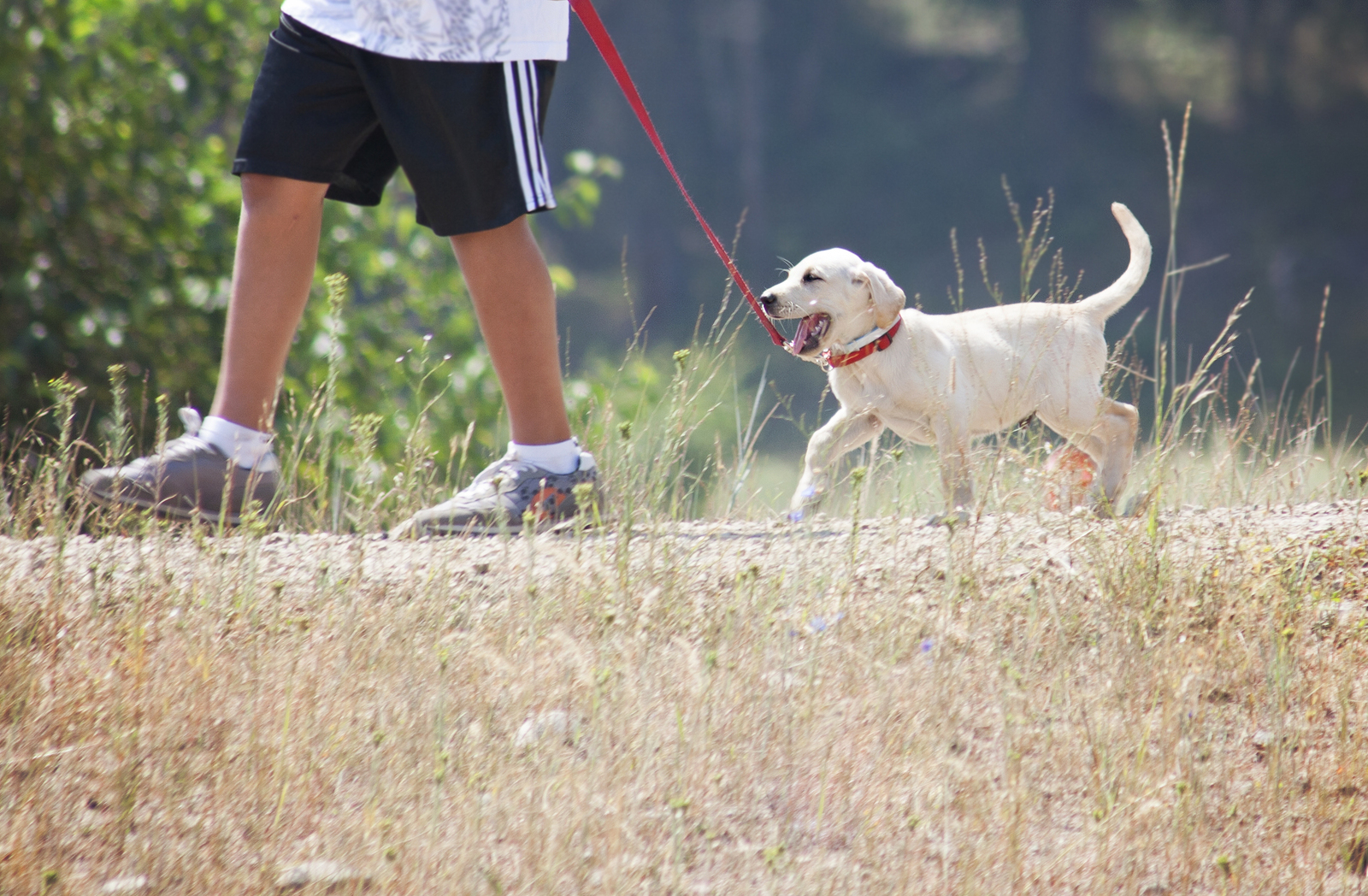A man walks a yellow lab puppy while he tries to chew on the red leash