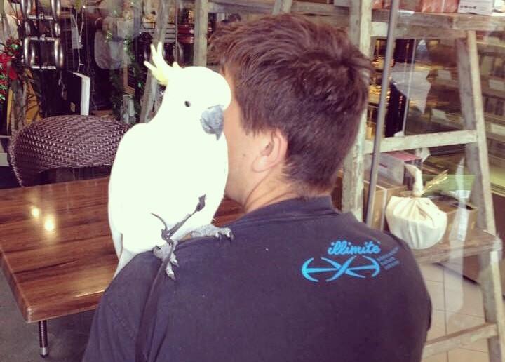Josie the cockatoo