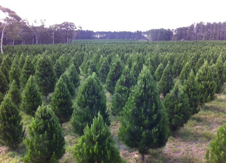 Australian Christmas Tree Pine.Fresh Christmas Trees For Sale In Lane Cove 2018 In The Cove