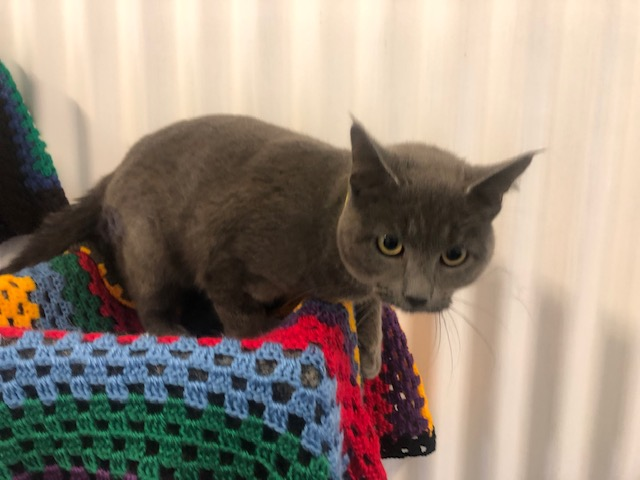 Picture of a DOMESTIC SHORT HAIR CAT desexed Male GREY