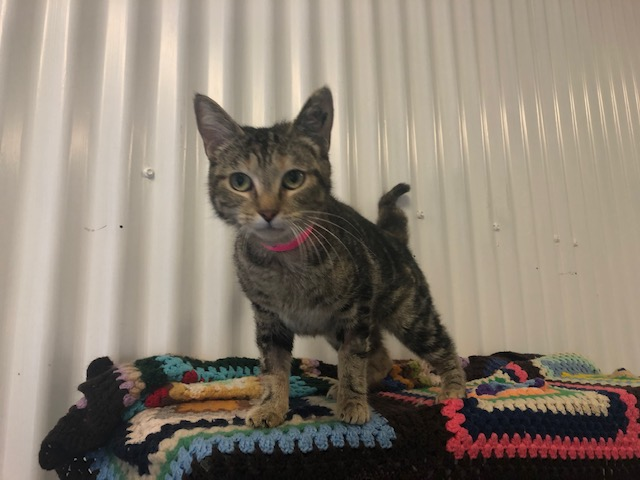 Picture of a DOMESTIC SHORT HAIR CAT desexed Female TABBY