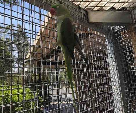 Picture of a ALEXANDRINE (BIRD) Male GREEN