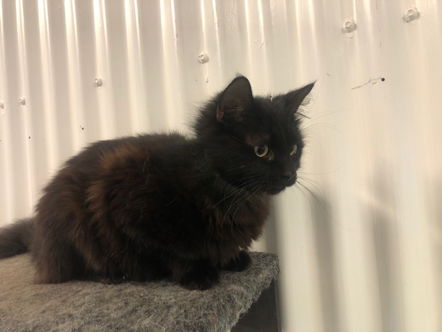 Picture of a DOMESTIC MEDIUM HAIR CAT desexed Male BLACK