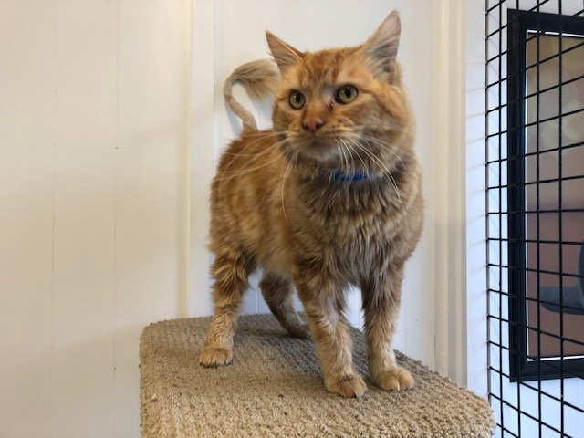 Picture of a DOMESTIC MEDIUM HAIR CAT desexed Male GINGER