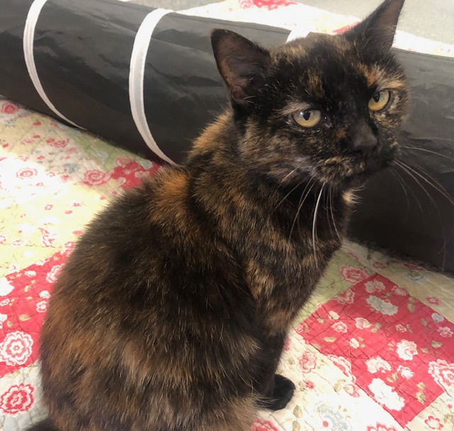 Picture of a DOMESTIC SHORT HAIR CAT desexed Female TORTOISE SHELL