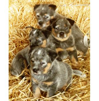 Registered Australian Cattle Dog Puppies