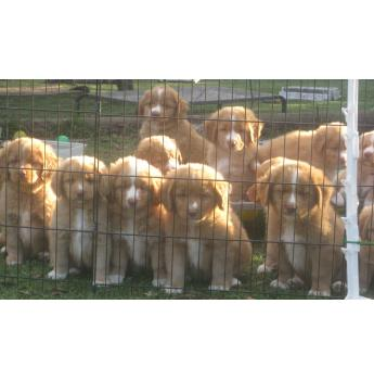 Toller Puppies